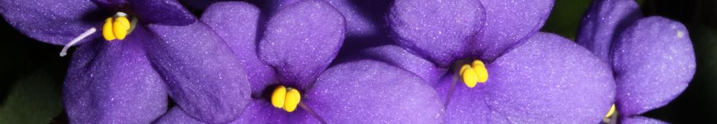 Saintpaulia groetei Silvert clone