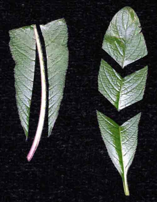 Leaf Cuttings