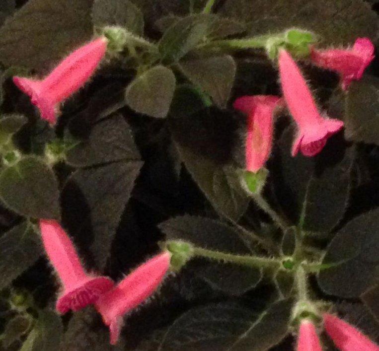 09-Kohleria_Peridots_Rolo_crop_BC
