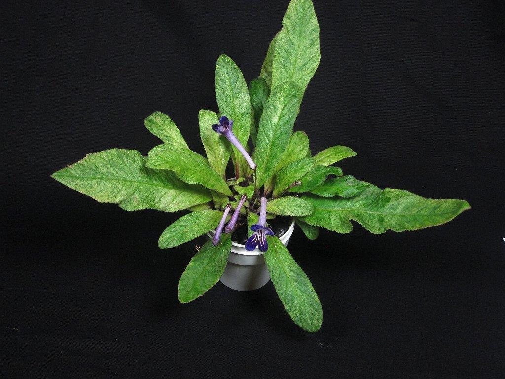 32-Streptocarpus_Heartland's_Polar_Midnight-RM