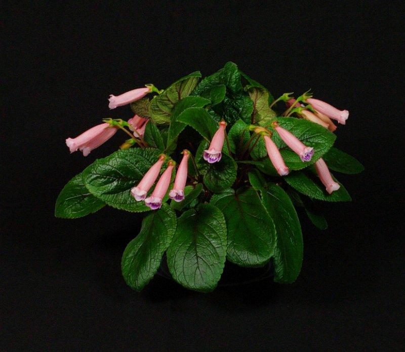 Class 05 Sinningia 'Peridots Pink Drops' alt_I James_RM