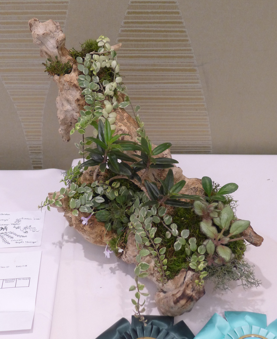 2014 Convention - Class 67 Natural Garden - Best Artistic and Best in Section M (Planting of Growing Gesneriad Material)