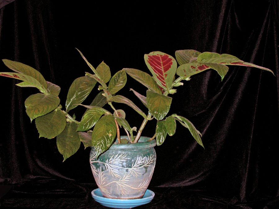 2014 Convention - Class 15 Columnea - Special Award for Best Flowering <i>Columnea</i>