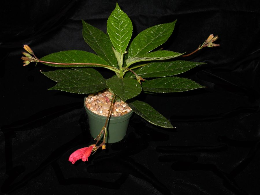 2014 Convention - Class 17 <i>Gesneria</i> - Best in Section C (New World Fibrous-Rooted Gesneriad in Flower)