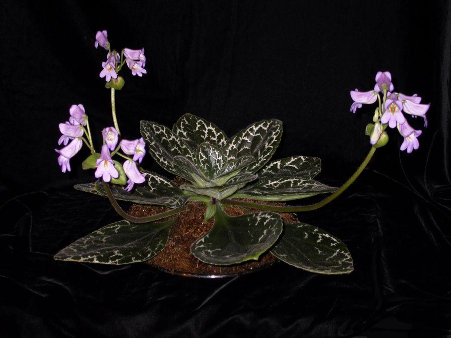 2014 Convention - Class 23 <i>Primulina</i> hybrids - Judges Award of Merit