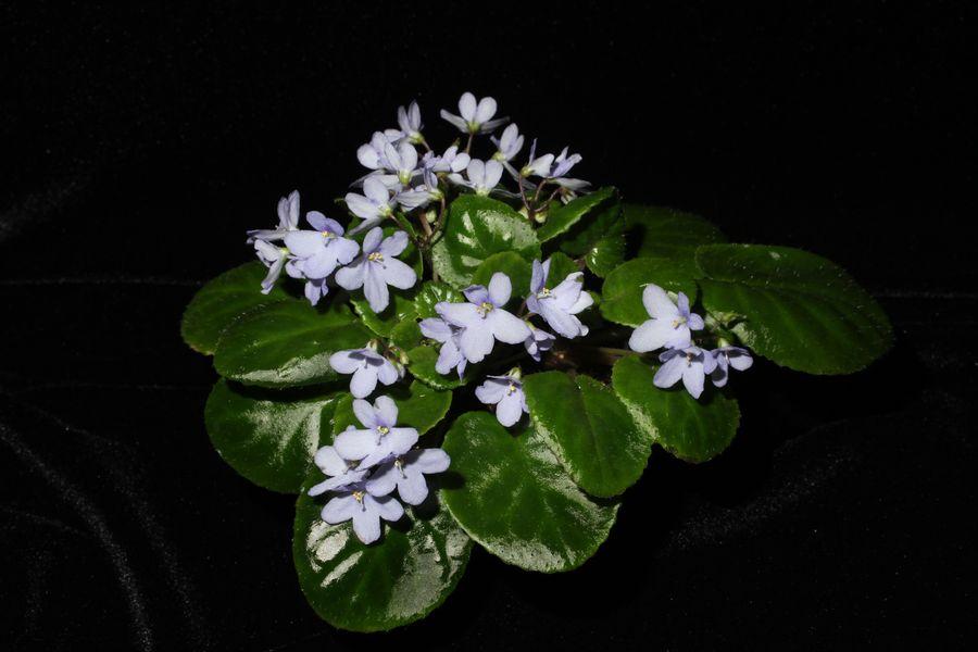 2014 Convention - Class 24 <i>Saintpaulia</i> species or named cultivars