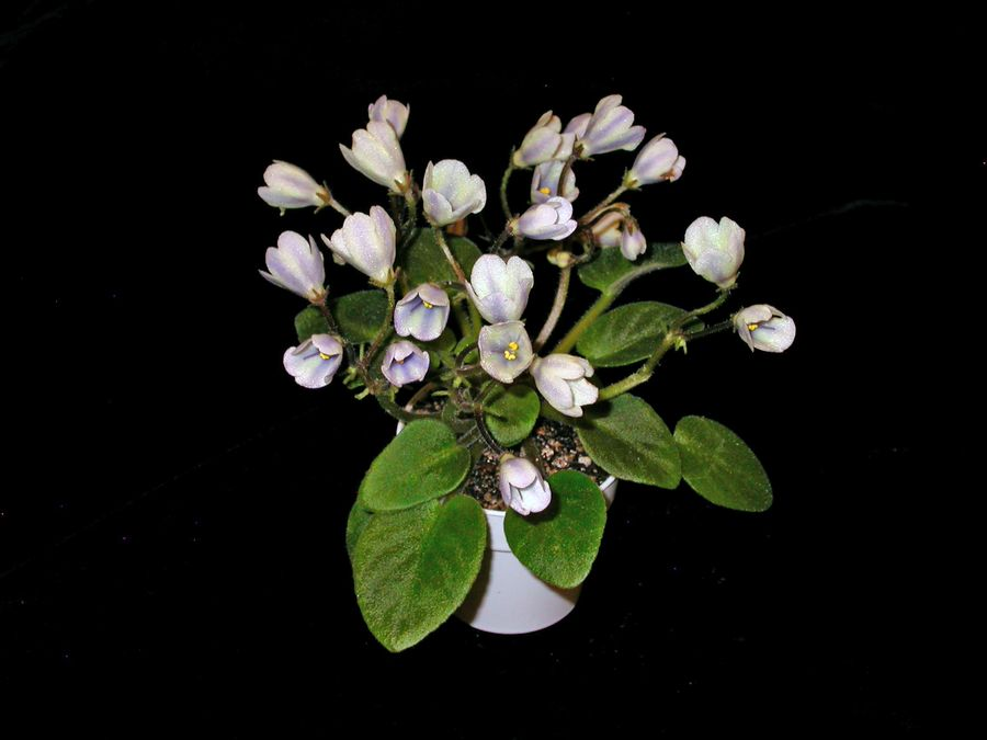 "2014 Convention - Class 25 <i>Saintpaulia</i> hybrids classified as miniatures (maximum 6"" diameter)"