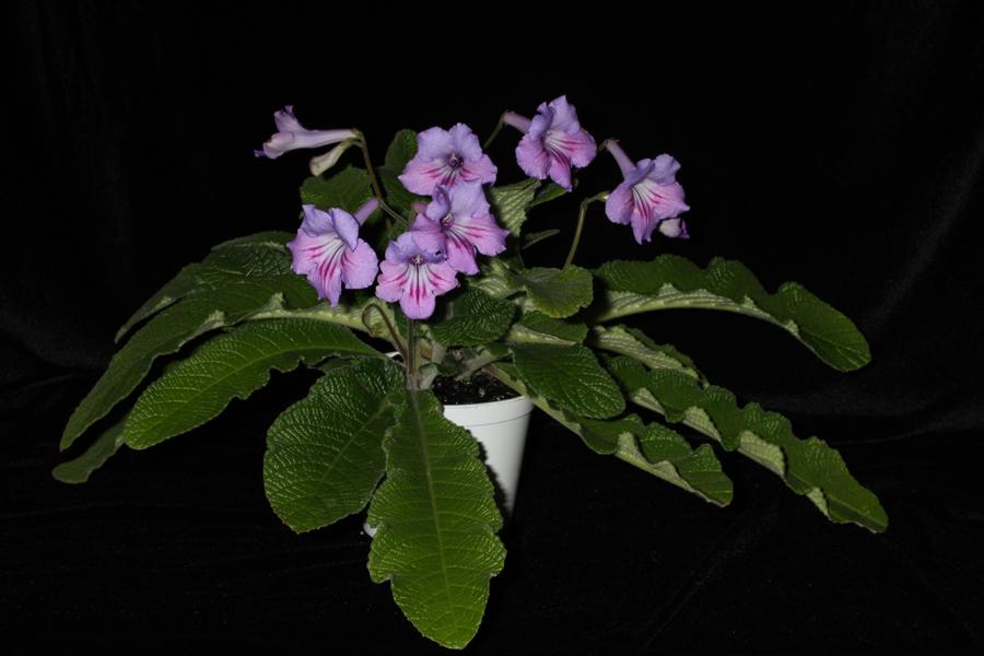 2014 Convention - Class 31A <i>Streptocarpus</i>, subgenus <i>Streptocarpus</i>, hybrids