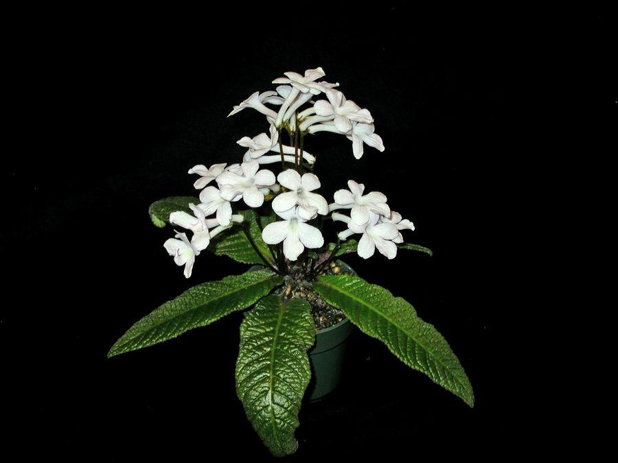 2014 Convention - Class 31C <i>Streptocarpus</i>, subgenus <i>Streptocarpus</i>, hybrids