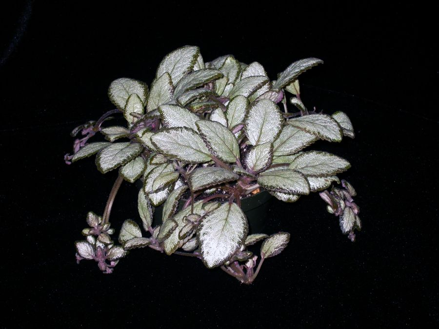 2014 Convention - Gesneriads grown for ornamental qualities other than flowers - Class 34 <i>Episcia</i>