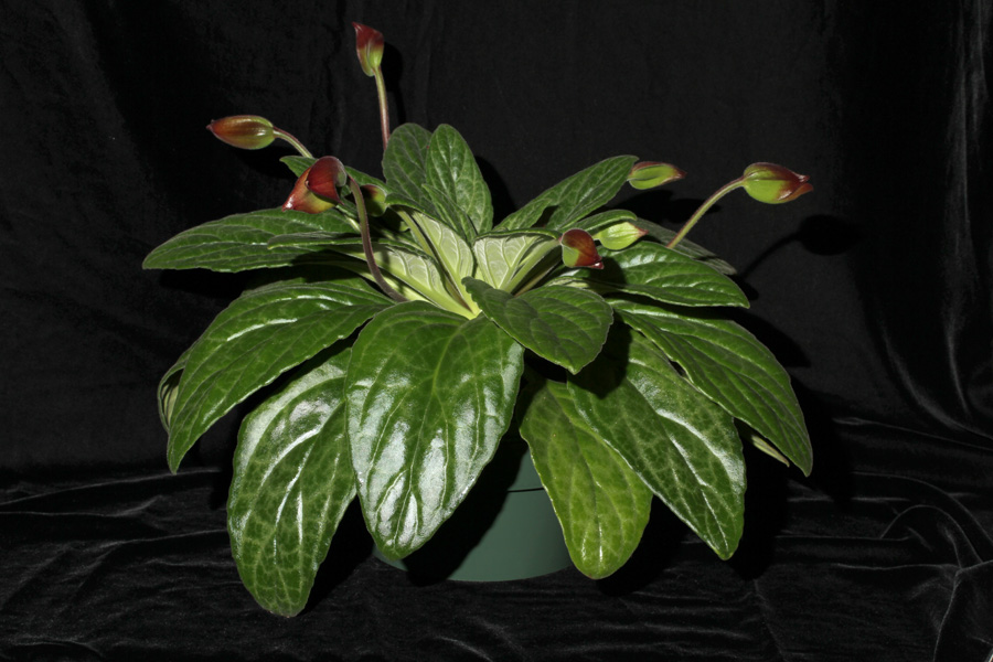 2014 Convention - Gesneriads grown for ornamental qualities other than flowers - Class 36A <i>Primulina</i>