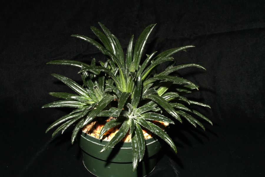 2014 Convention - Gesneriads grown for ornamental qualities other than flowers - Class 36C <i>Primulina</i> - Awarded Runner-Up to Best in Show and Special Award for Best Gesneriad from South China