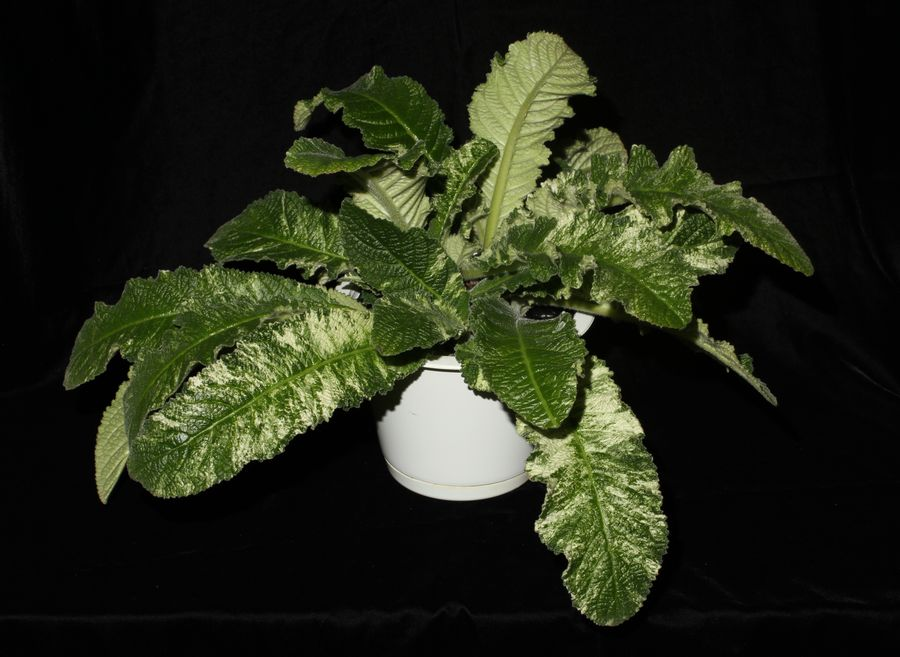 2014 Convention - Gesneriads grown for ornamental qualities other than flowers - Class 37 Other gesneriads with green-and-white leaf variegation