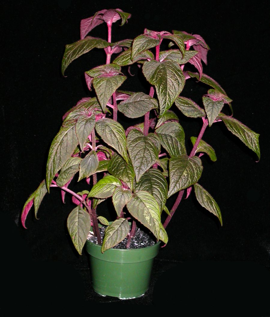 2014 Convention - Gesneriads grown for ornamental qualities other than flowers - Class 38B Other New World gesneriads, species or hybrids, Best in Section E