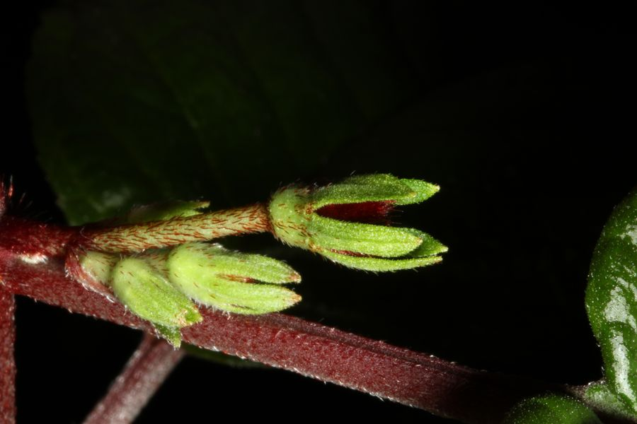 2014 Convention - New Gesneriads - Class 41 Species not in flower