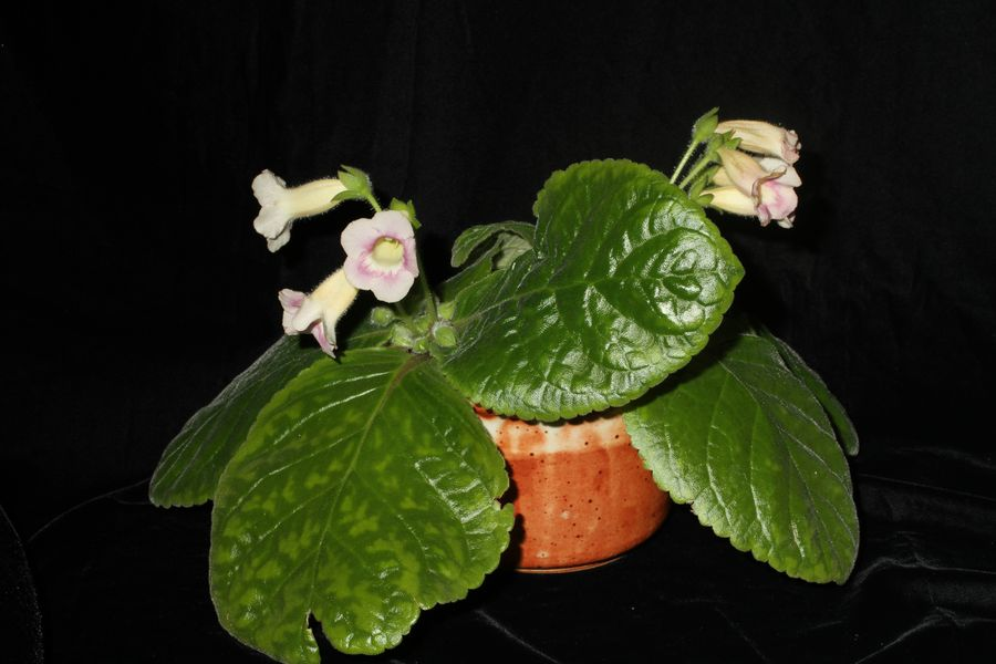 2014 Convention - New Gesneriads - Class 42 Hybrids or named cultivars in flower