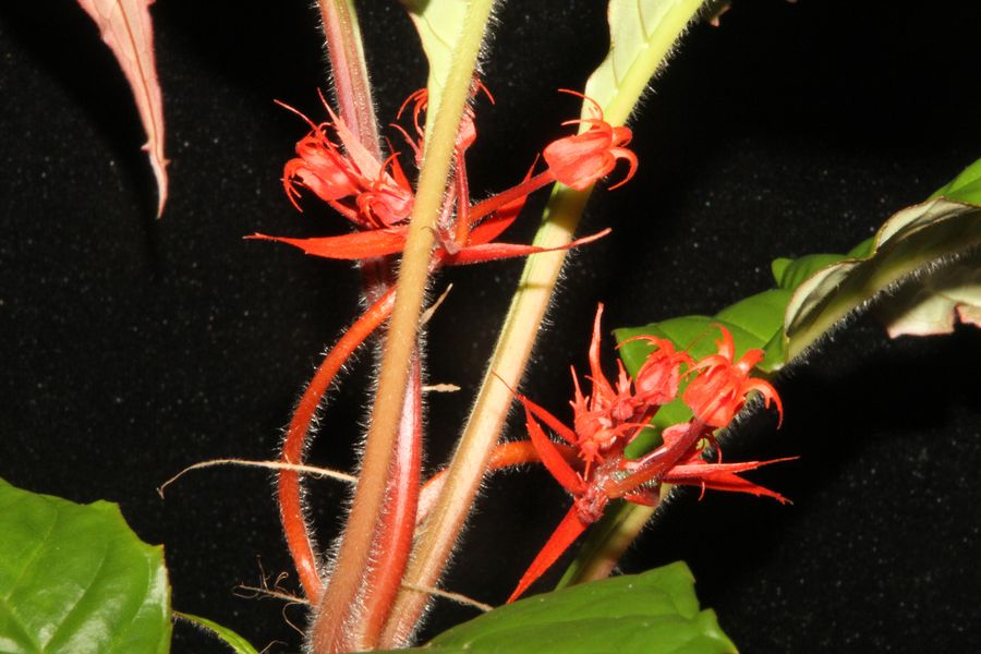 2014 Convention - Collections of Gesneriads - Class 47 Single genus