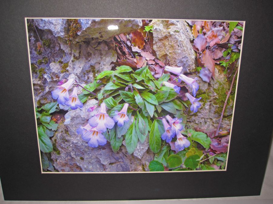 2014 Convention - Class 71 Color print of gesneriad(s) growing in a natural habitat