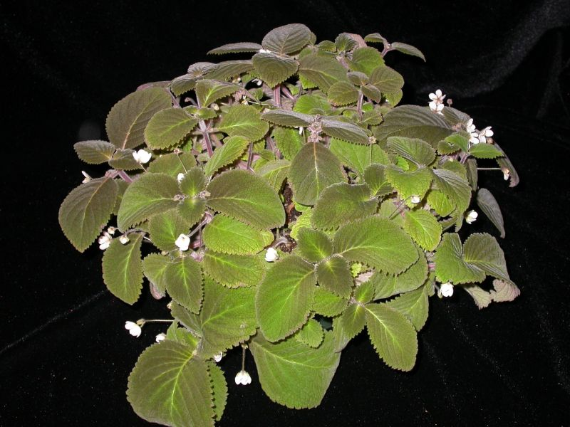 2015 Convention – New World Gesneriads in Flower – Rhizomatous - Class 13 other rhizomatous gesneriads<br> BEST IN SECTION B