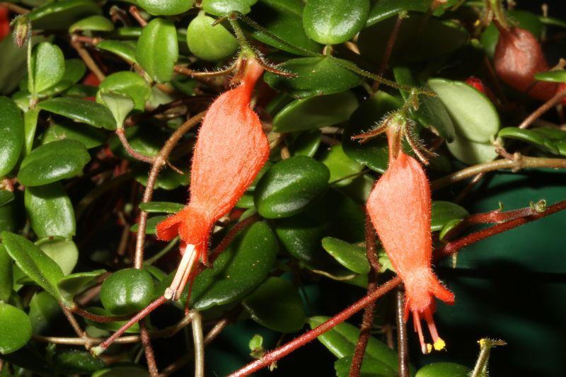2015 Convention – New World Gesneriads in Flower – Fibrous-Rooted - Class 19 other New world fibrous-rooted gesneriads<br>JUDGES AWARD OF MERIT