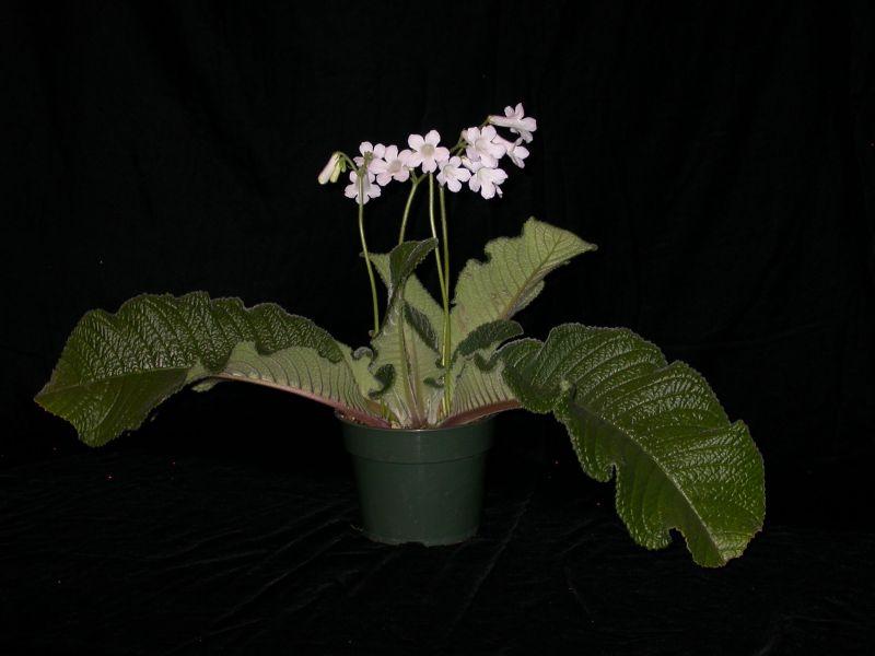 2015 Convention – Old World Gesneriads in Flower – Class 30 <i>Streptocarpus</i>, subgenus <i>Streptocarpus</i>, species<br>BEST STREPTOCARPUS