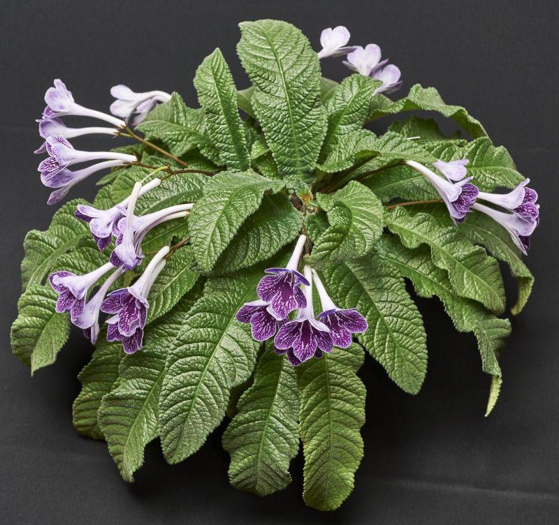 2015 Convention – Old World Gesneriads in Flower – Class 31 <i>Streptocarpus</i>, subgenus <i>Streptocarpus</i>, hybrids