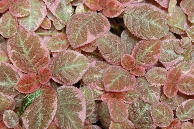 2015 Convention – Gesneriads Grown for ornamental Qualities other Than Flowers - Class 35 <i>Episcia</i> with pink and/or cream leaf variegation<br> BEST IN SECTION E