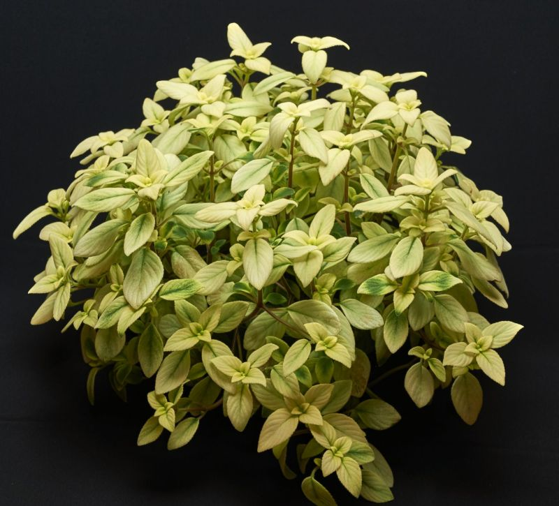 2015 Convention – Gesneriads Grown for ornamental Qualities other Than Flowers - Class 39A other old world gesneriads, species or hybrid<br>JUDGES AWARD OF MERIT