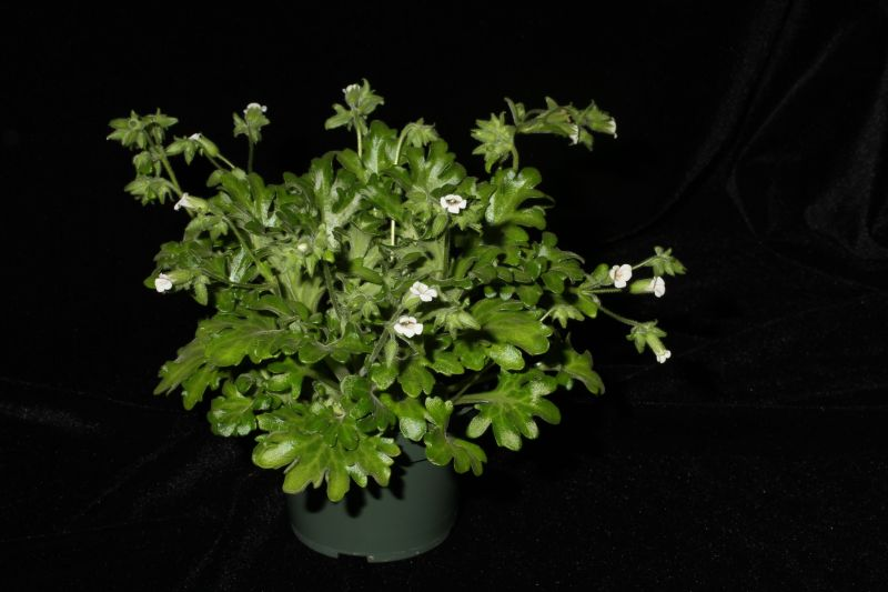 2015 Convention – New Gesneriads - Class  40 Species in flower<br> BEST IN SECTION F