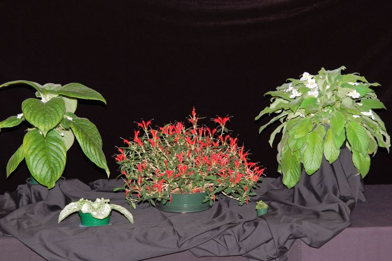 2015 Convention – Collections of Gesneriads - Class 51 Multiple genera<br>BEST IN SHOW