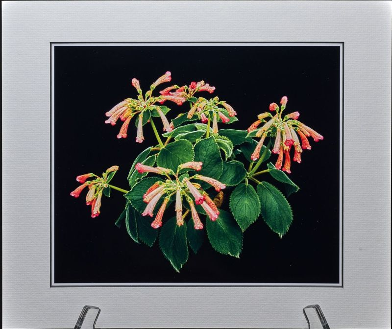 2015 Convention – Photography - Class 69A Color print of a whole gesneriad plant