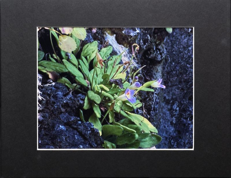 2015 Convention – Photography - Class 70 Color print of gesneriad(s) growing in a natural habitat