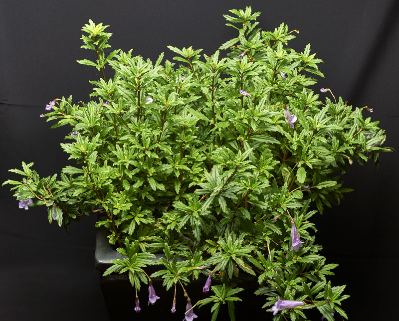 2015 Convention – Old World Gesneriads in Flower – Class 33 other old world gesneriads<br>BEST GESNERIAD GROWN BY A FIRST-TIME CONVENTION EXHIBITOR