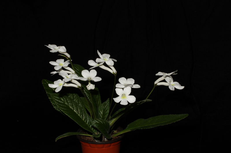 2015 Convention – Old World Gesneriads in Flower – Class 31 <i>Streptocarpus</i>, subgenus <i>Streptocarpus</i>, hybrids<br>BEST RECENTLY REGISTERED HYBRID