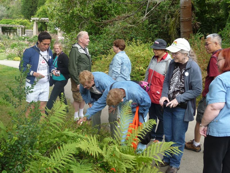 Finding and photographing the Mitraria shrubs in the garden