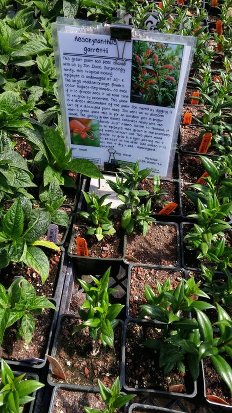 Some aeschynanthus plants for sale
