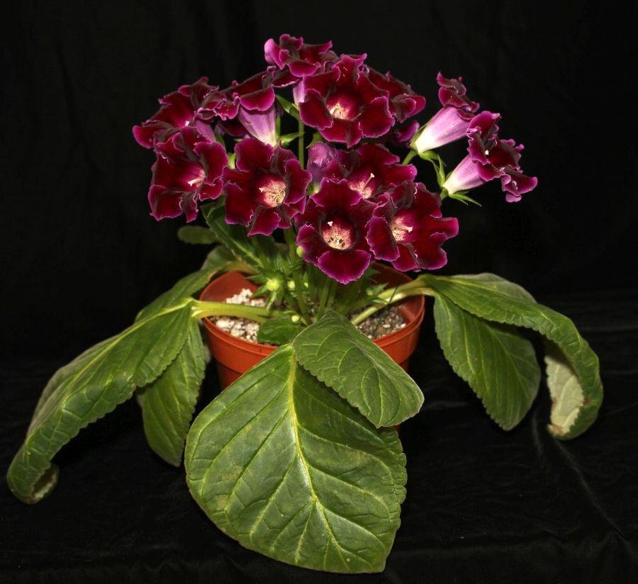 2016 Convention<br>New World Gesneriads in Flower – Tuberous<br><i>Sinningia speciosa</i><br>BEST RECENTLY REGISTERED HYBRID