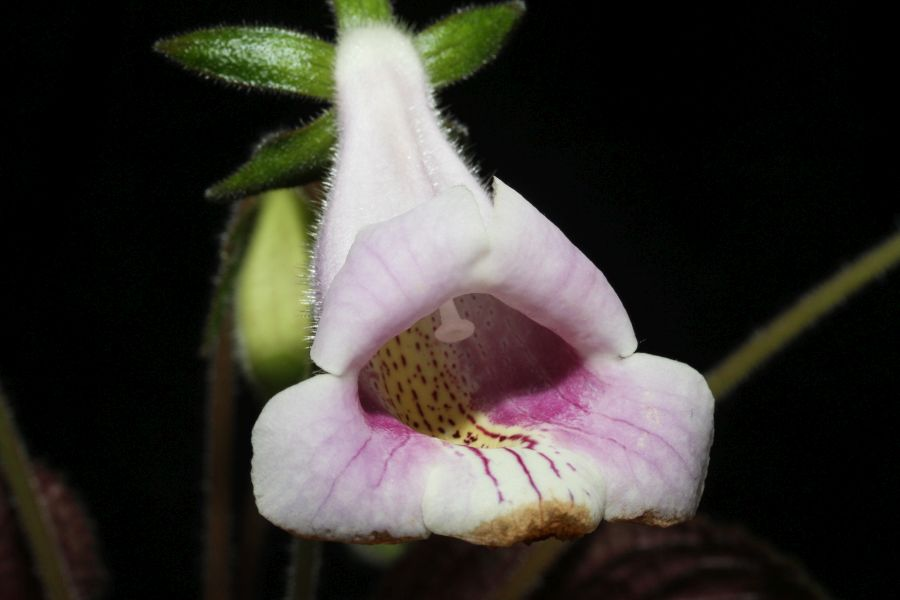 2016 Convention<br>New World Gesneriads in Flower – Tuberous - Class 3A Other <i>Sinningia</i> species with upright growth pattern