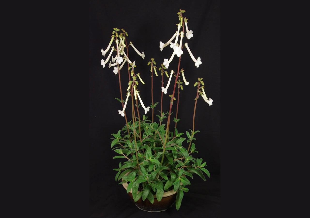 2016 Convention<br>New World Gesneriads in Flower – Tuberous<br>BEST IN SECTION A – NEW WORLD TUBEROUS GESNERIAD IN FLOWER<br>BEST SCENTED GESNERIAD