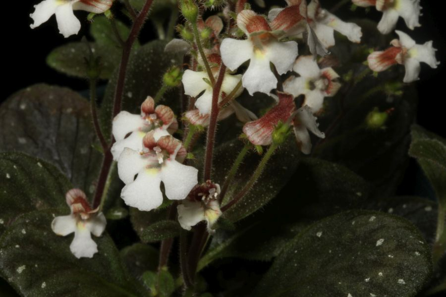 """2016 Convention<br>New World Gesneriads in Flower – Rhizomatous<br>Class 12 Other rhizomatous gesneriads less than 5"""" in all dimensions (excluding container)"""