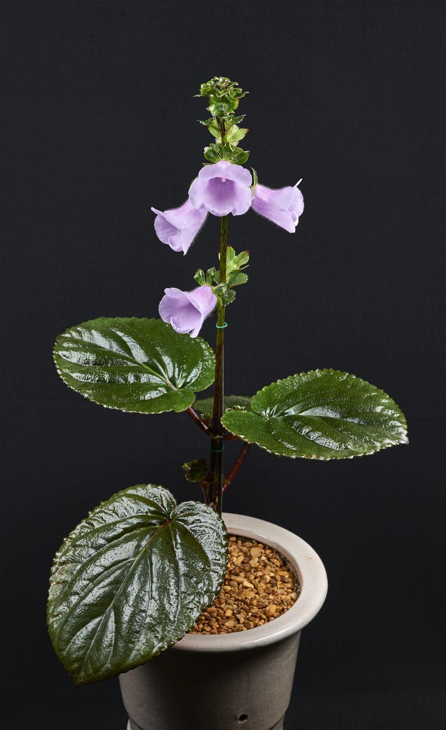 2016 Convention<br>New World Gesneriads in Flower – Rhizomatous<br>Class 13A Other rhizomatous gesneriads