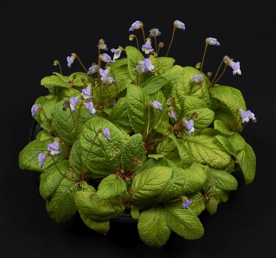 2016 Convention<br>New World Gesneriads in Flower – Rhizomatous<br>Class 13B Other rhizomatous gesneriads