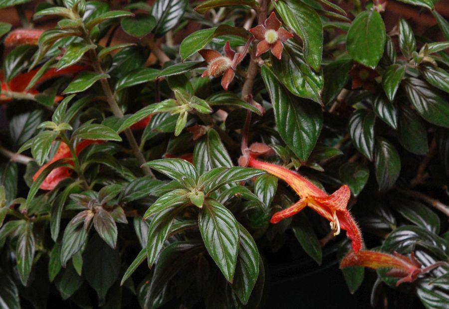 2016 Convention<br>New World Gesneriads in Flower – Fibrous-Rooted<br>Class 15 <i>Columnea (Dalbergaria, Pentadenia, Trichantha)</i>