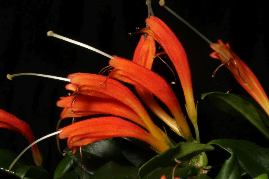 2016 Convention<br>Old World Gesneriads in Flower<br>Class 20 <i>Aeschynanthus</i>