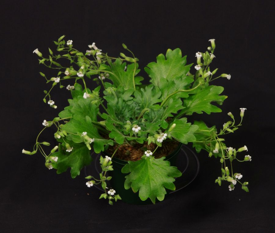 2016 Convention<br>Old World Gesneriads in Flower <br>Class 22 <i>Primulina</i> species