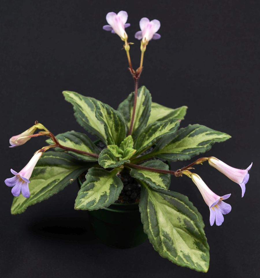 2016 Convention<br>Old World Gesneriads in Flower <br>Class 23 <i>Primulina</i> hybrids<br>BEST PETER SHALIT HYBRID