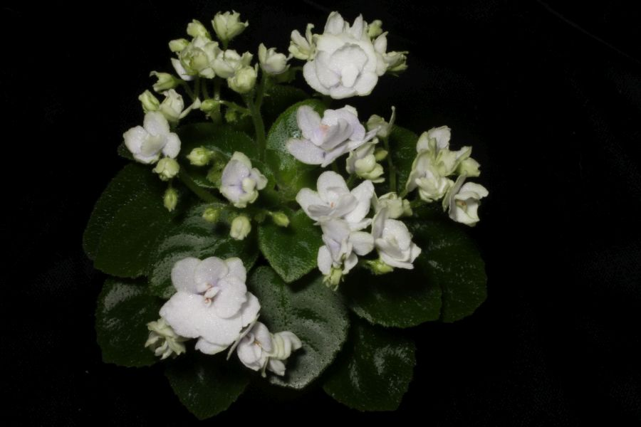 2016 Convention<br>Old World Gesneriads in Flower <br>Class 25B <i>Saintpaulia</i> hybrids or cultivars classified as miniatures