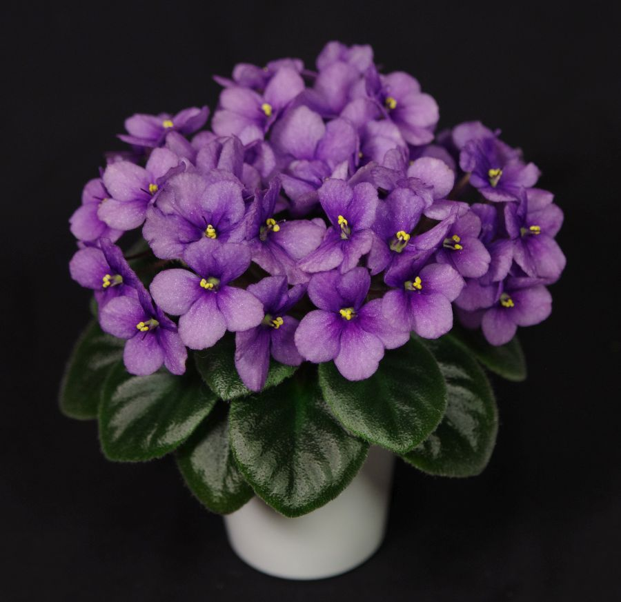 2016 Convention<br>Old World Gesneriads in Flower <br>Class 26C <i>Saintpaulia</i> hybrids or cultivars classified as semi-miniatures<br>BEST SAINTPAULIA HYBRID