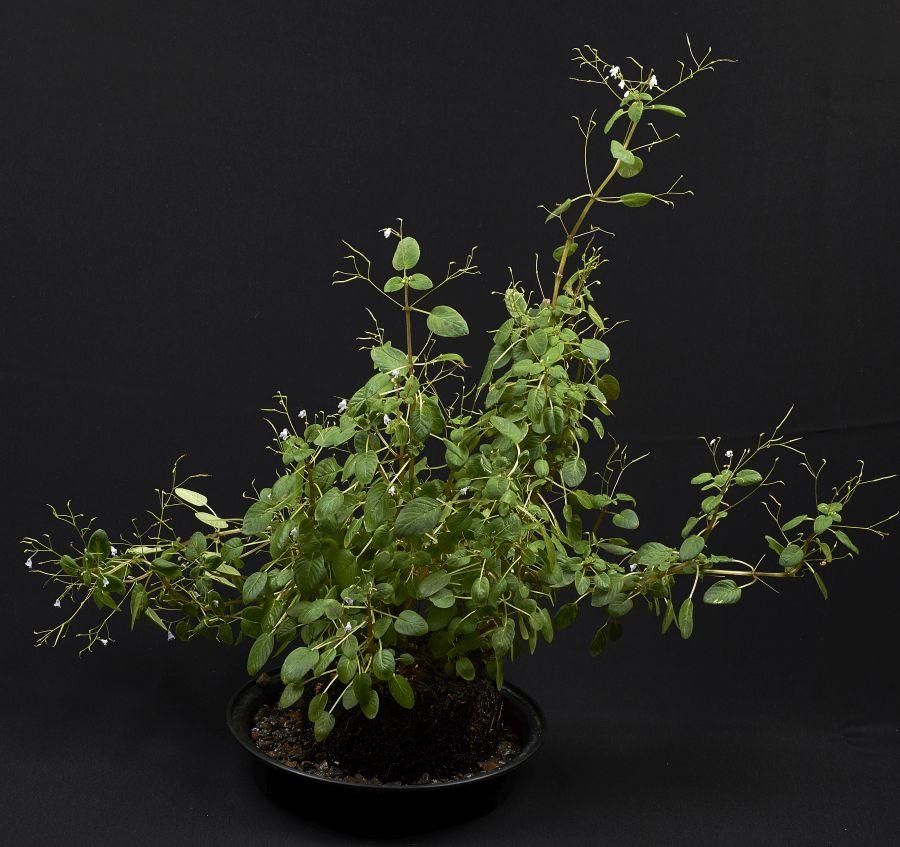 2016 Convention<br>Old World Gesneriads in Flower <br>Class 29 <i>Streptocarpus</i>, subgenus <i>Streptocarpella</i><br>BEST GESNERIAD EXHIBITING FRUIT