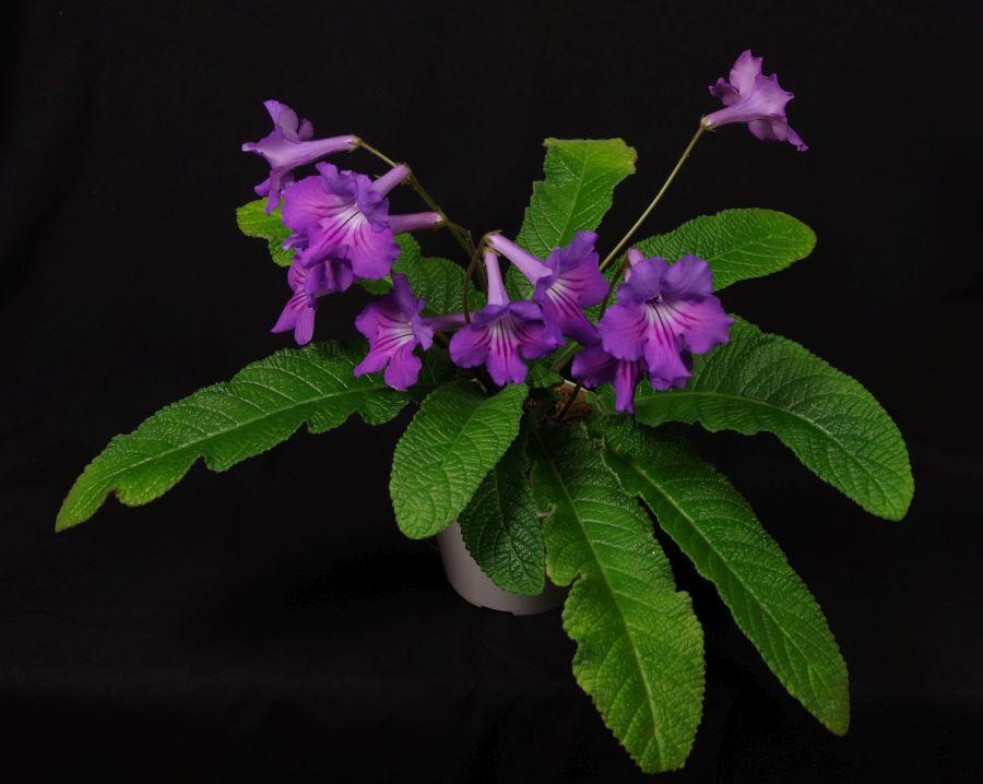 2016 Convention<br>Old World Gesneriads in Flower <br>Class 31A <i>Streptocarpus</i>, subgenus <i>Streptocarpus</i>, hybrids
